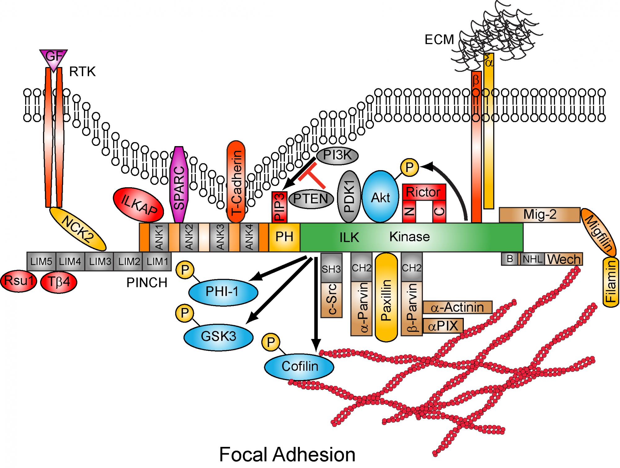 Focal Adhesion